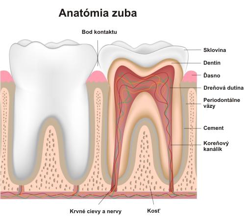 Anatómia_zuba
